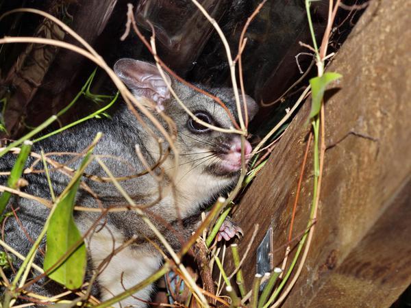 Possum-12.jpeg