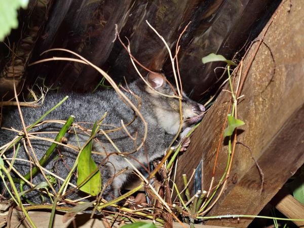 Possum-5.jpeg