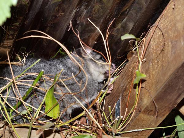 Possum-6.jpeg