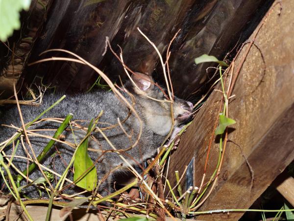 Possum-7.jpeg
