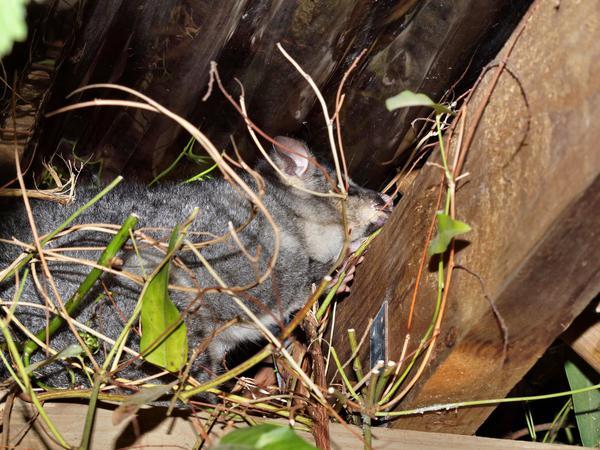 Possum-9.jpeg