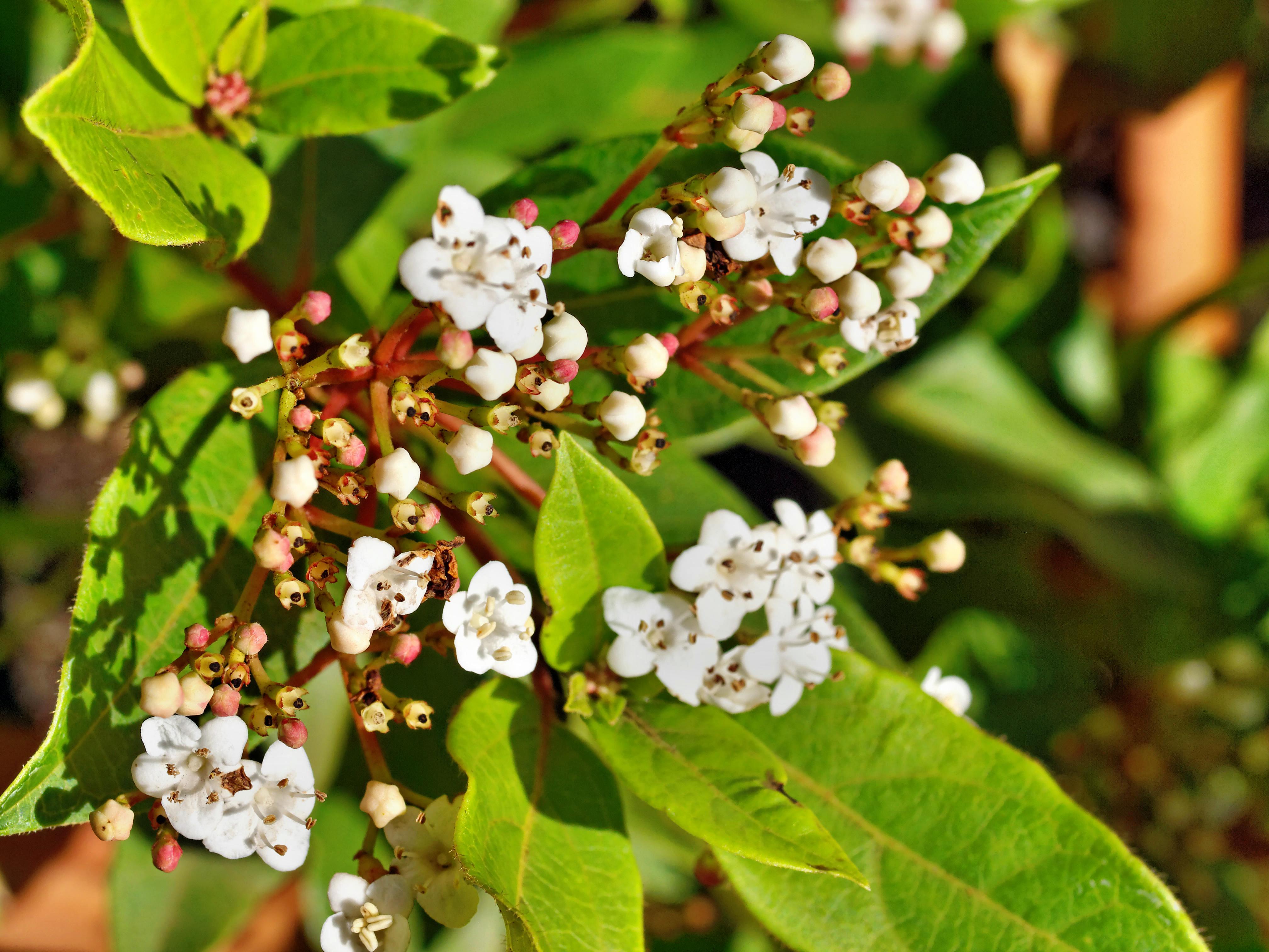 Viburnum-rhytidophylloides-2.jpeg