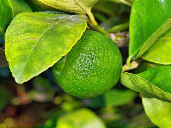 Lime-1.jpeg