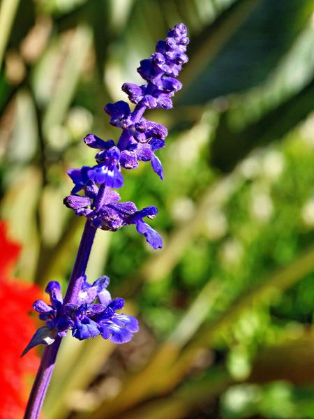 Salvia-blue-bedder.jpeg