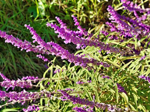 Salvia-leucantha.jpeg