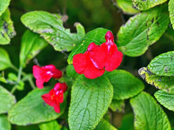 Salvia-microphylla-2.jpeg