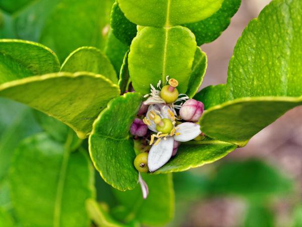 Lime-blossom.jpeg