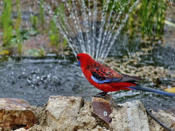 Rosellas-16.jpeg
