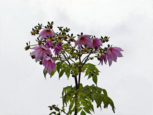 Tree-dahlia-1.jpeg