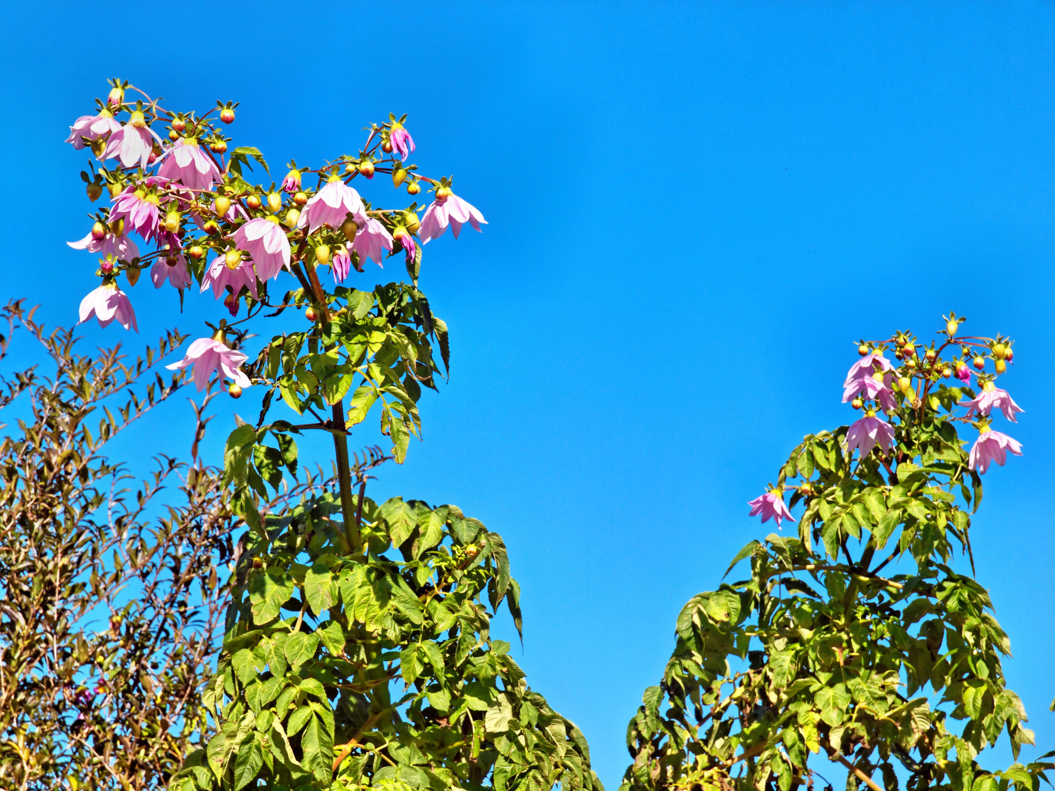 Tree-dahlia-3.jpeg