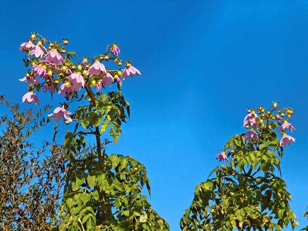 Tree-dahlia-2.jpeg