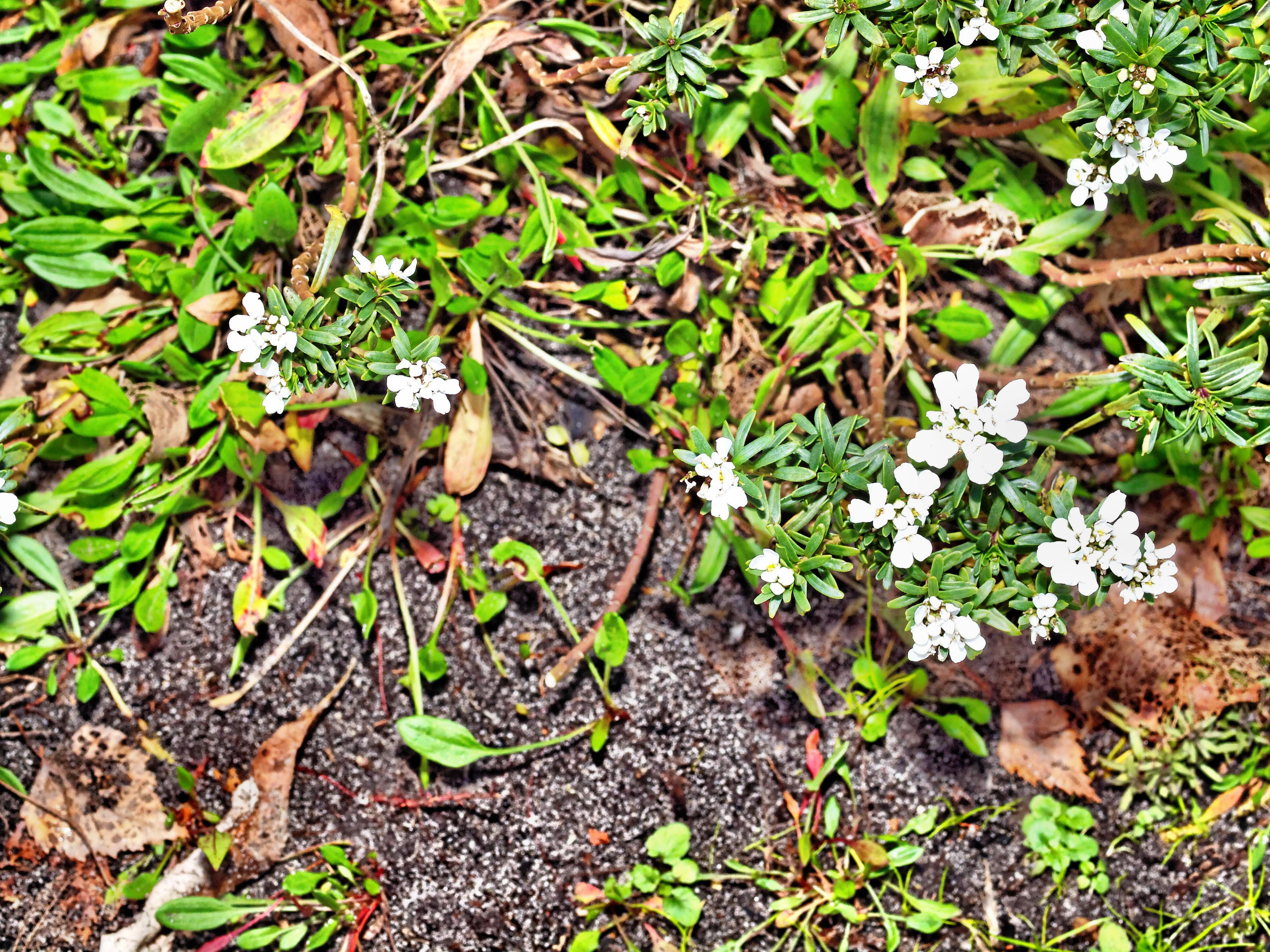 Euphorbia-Diamond-Frost.jpeg