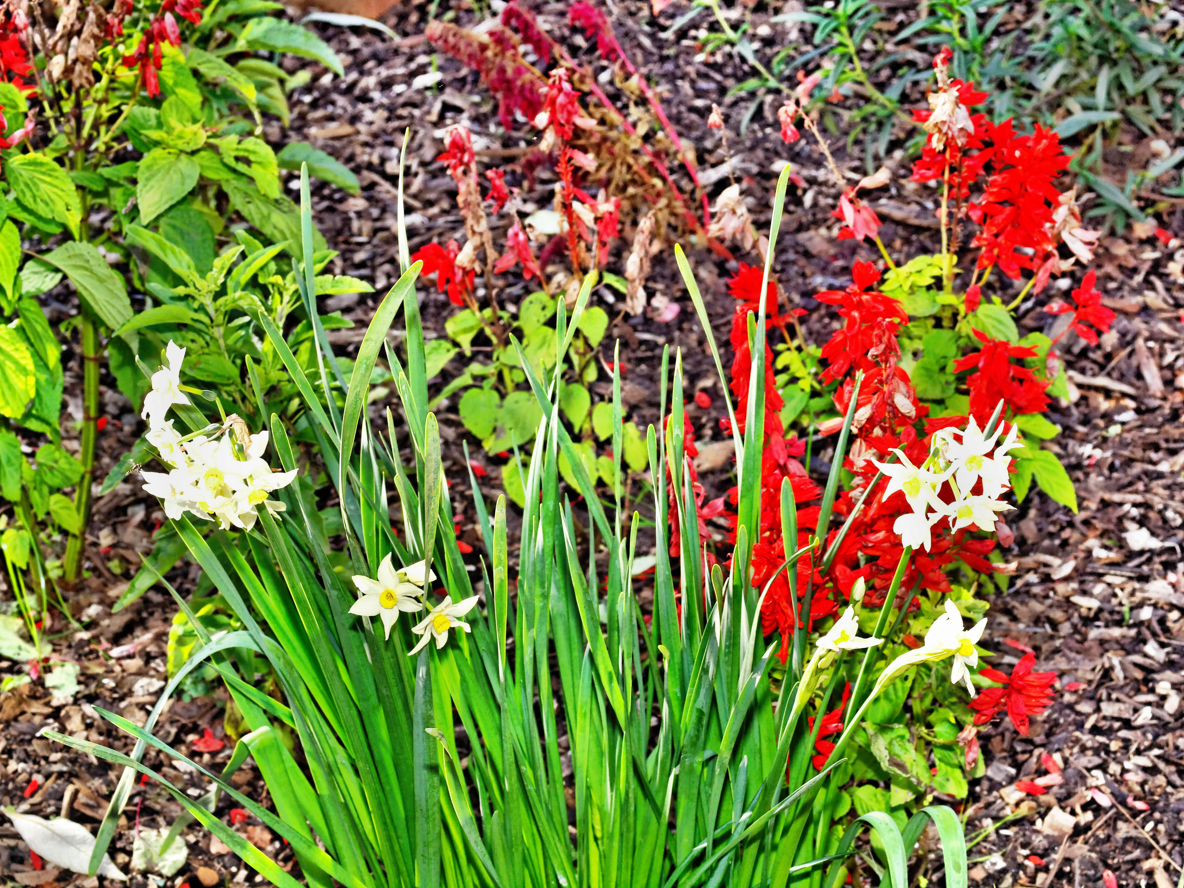 Salvia-narcissus-1.jpeg