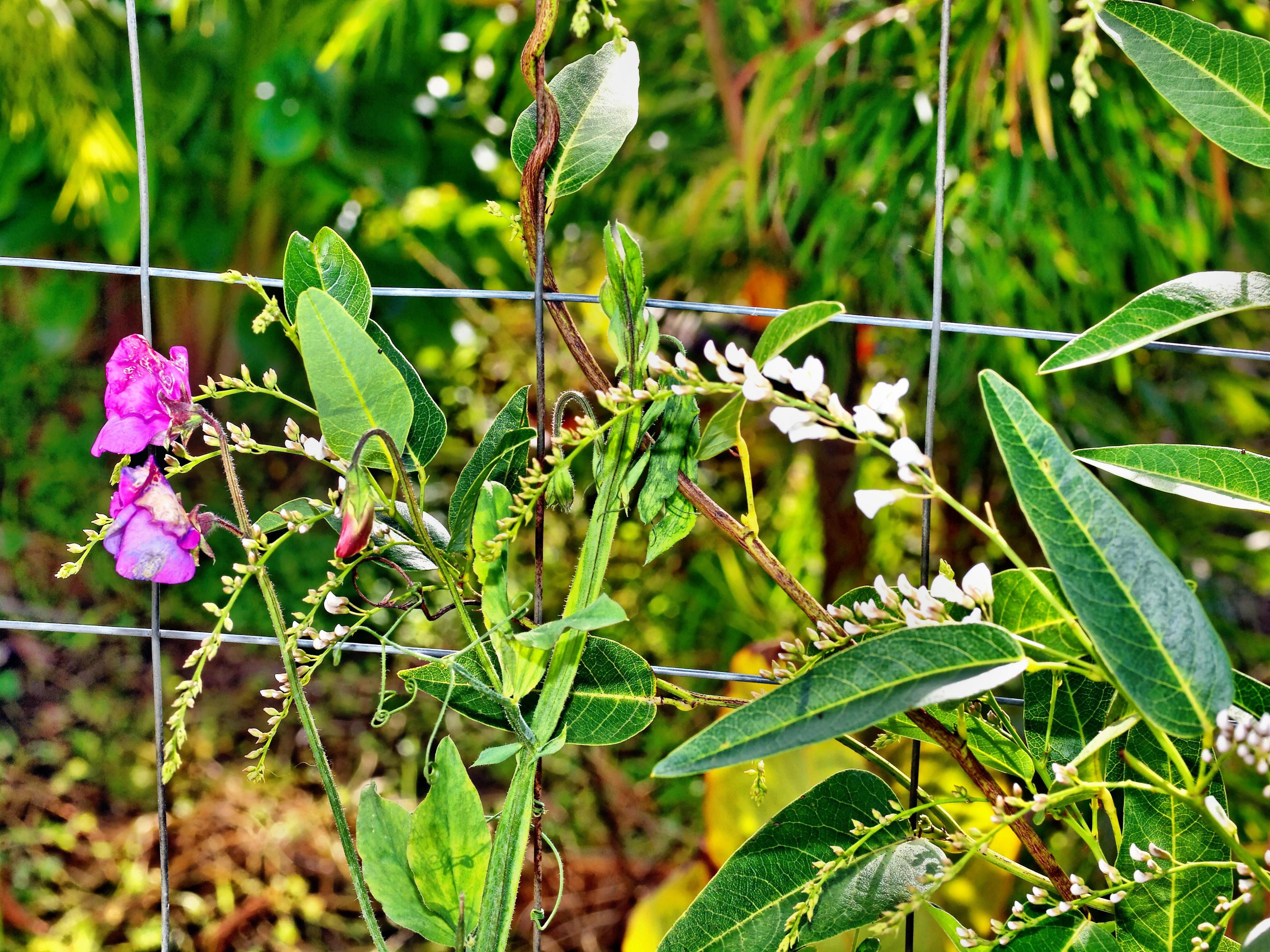 Sweet-pea-Hardenbergia.jpeg
