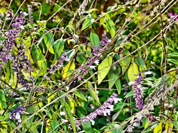 Salvia-Phyllis-Fancy-2.jpeg