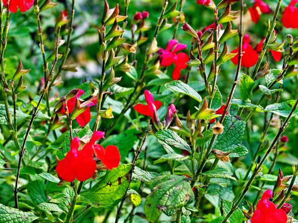Salvia-microphylla.jpeg