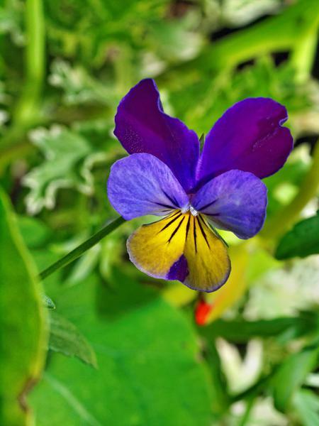 Vilola-tricolor-1.jpeg