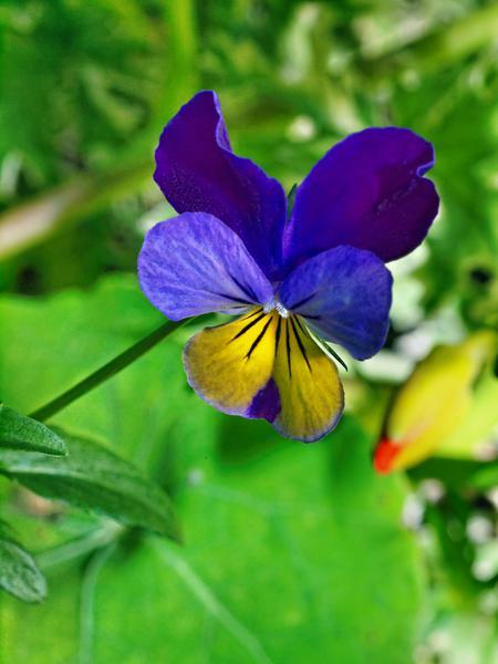 Vilola-tricolor-2.jpeg