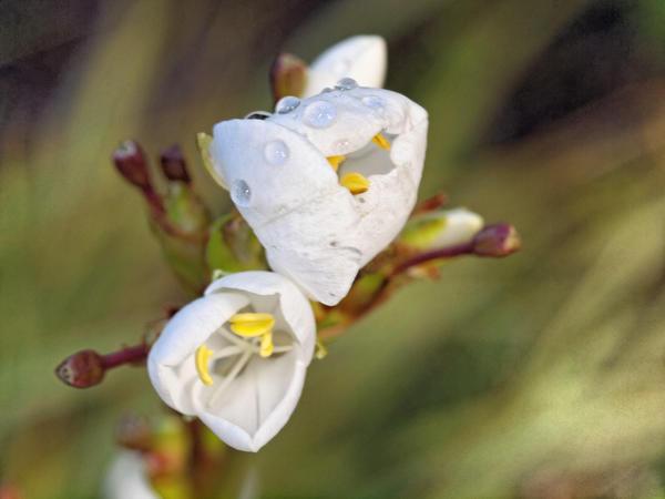 Libertia-grandiflora-2.jpeg