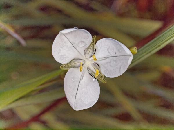 Libertia-grandiflora-3.jpeg