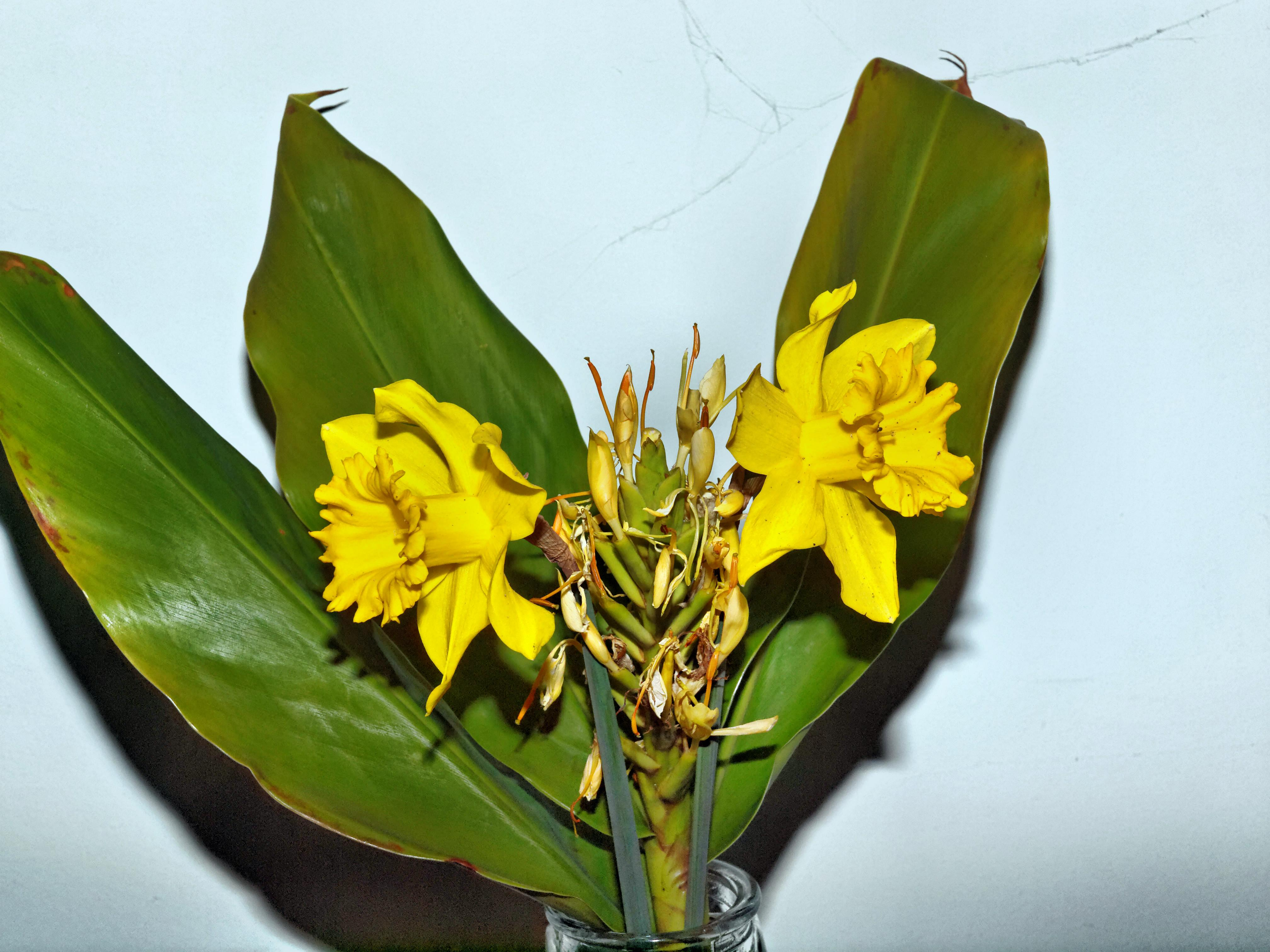 Daffodils-and-Hedychium-1.jpeg
