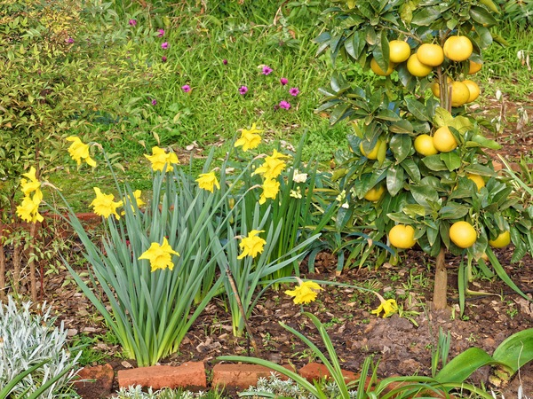Daffodils-grapefruit.jpeg