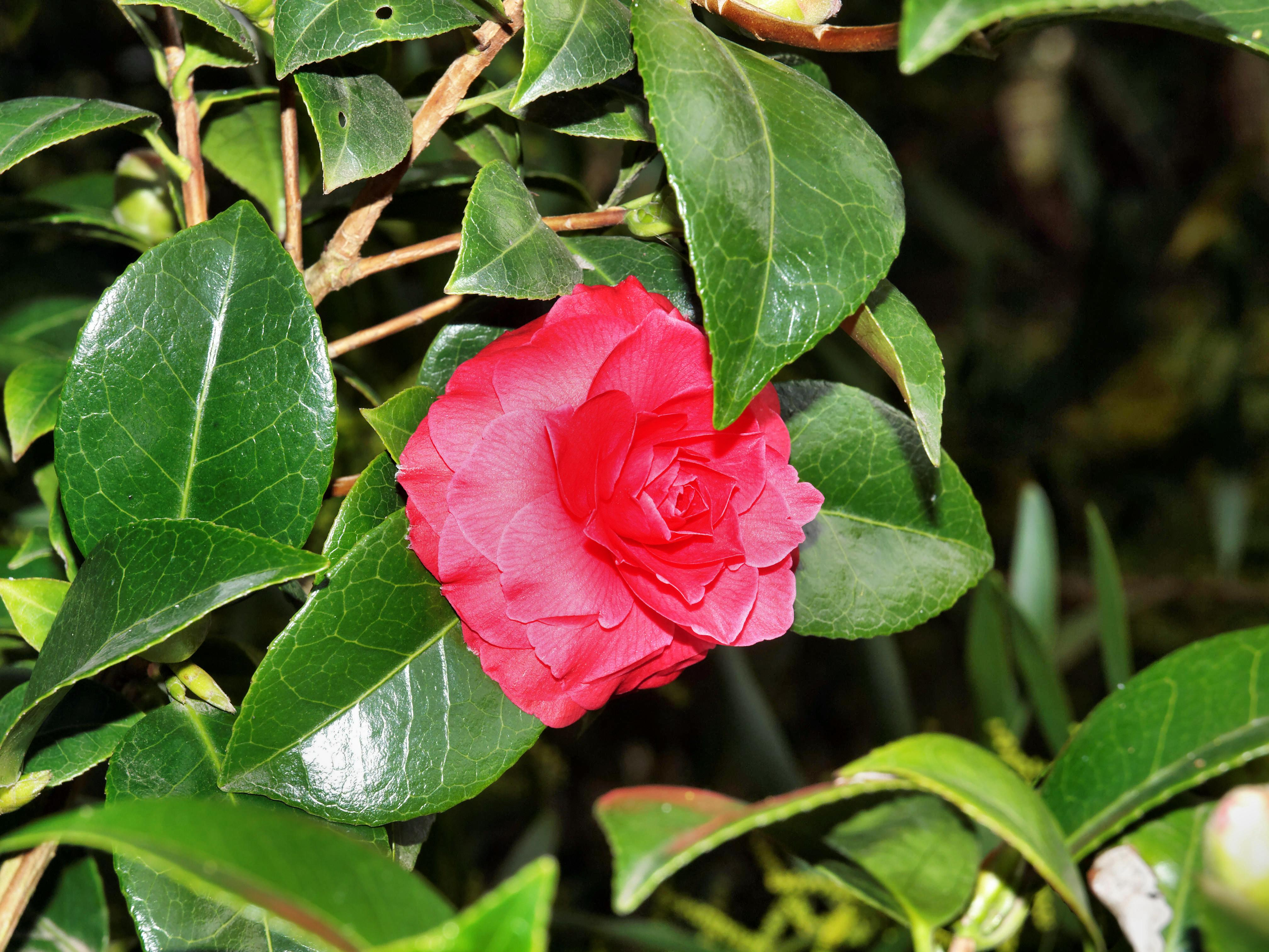 This should be Camellia-1.jpeg.  Is it missing?