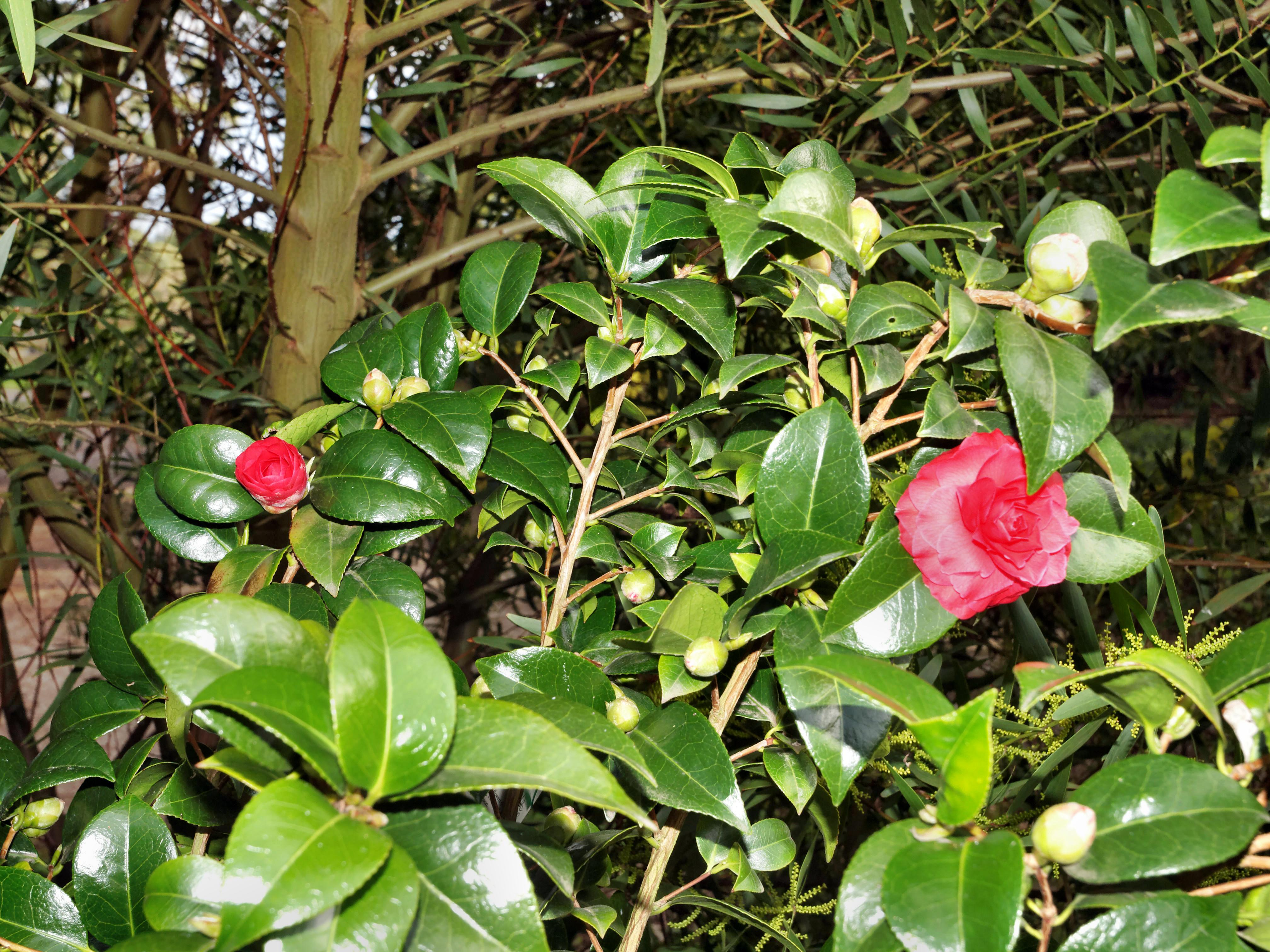 This should be Camellia-2.jpeg.  Is it missing?