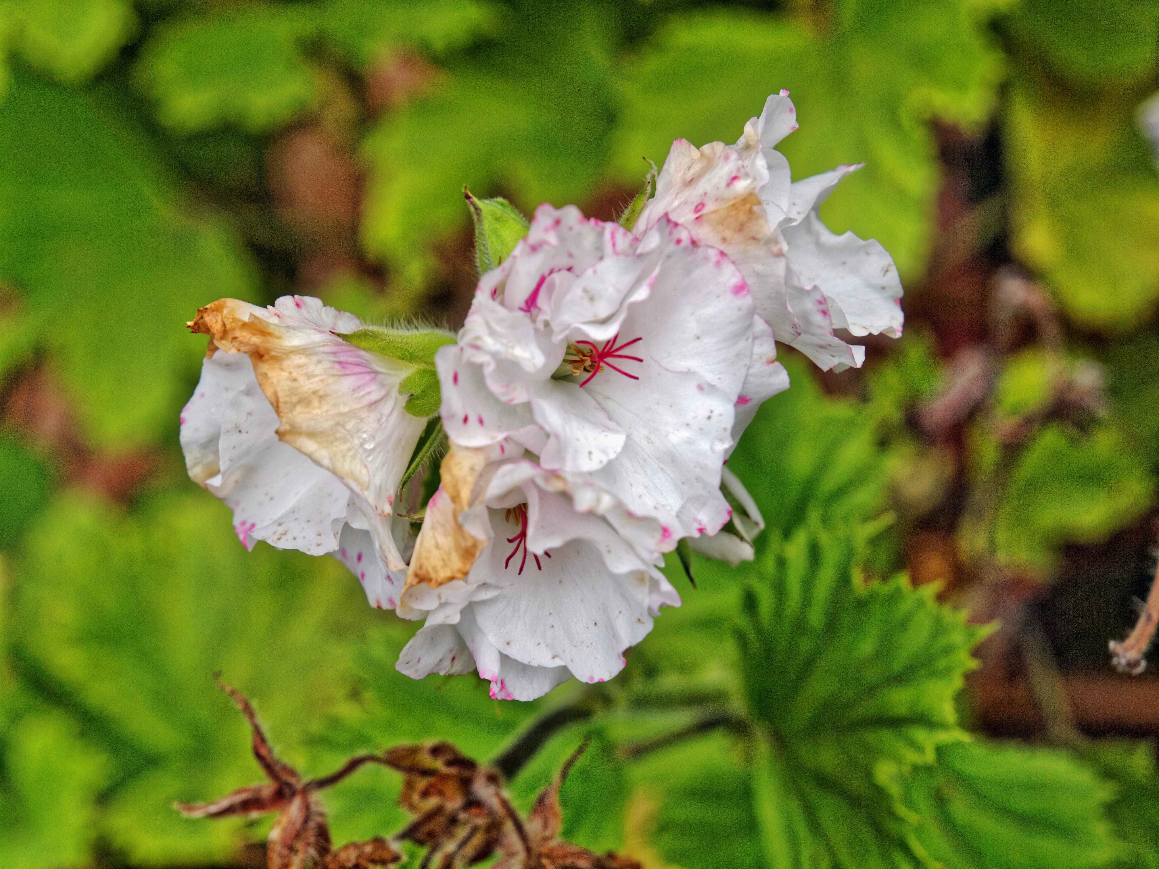 Pelargonium-rhodo.jpeg