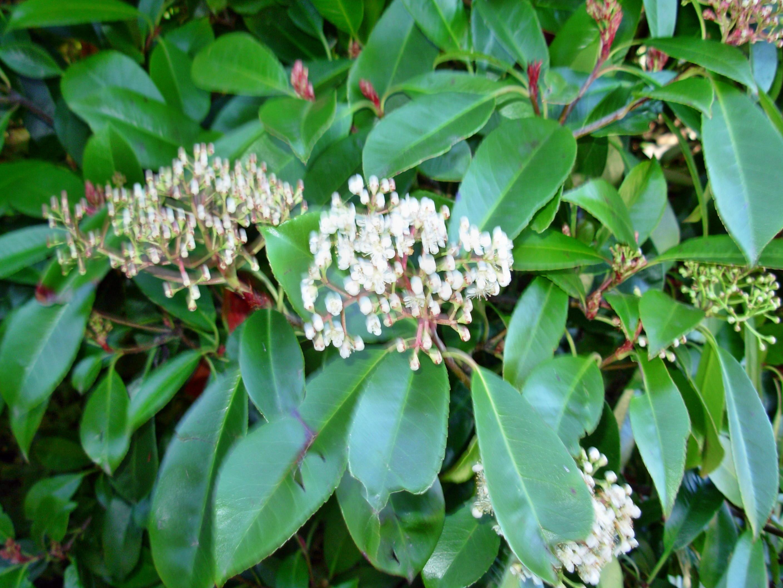 Viburnum-prunifolium.jpeg