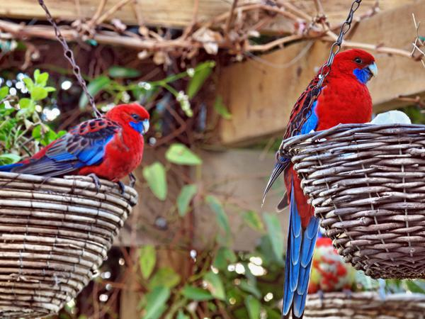 Rosellas-9.jpeg