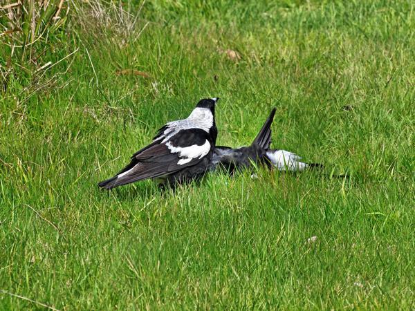 Magpies-1.jpeg