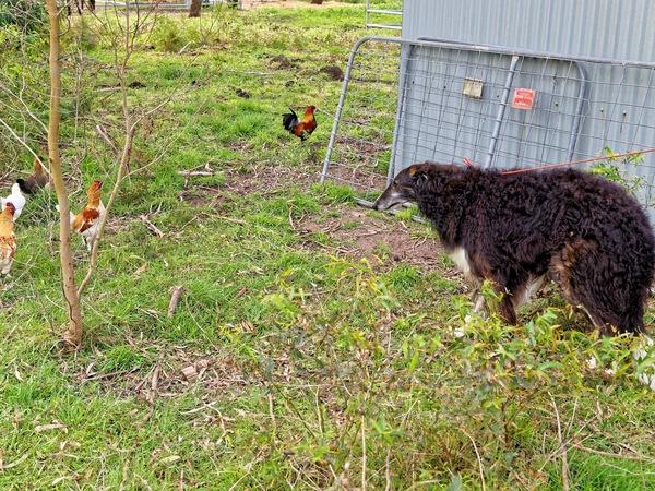 Zhivago-meets-chickens.jpeg