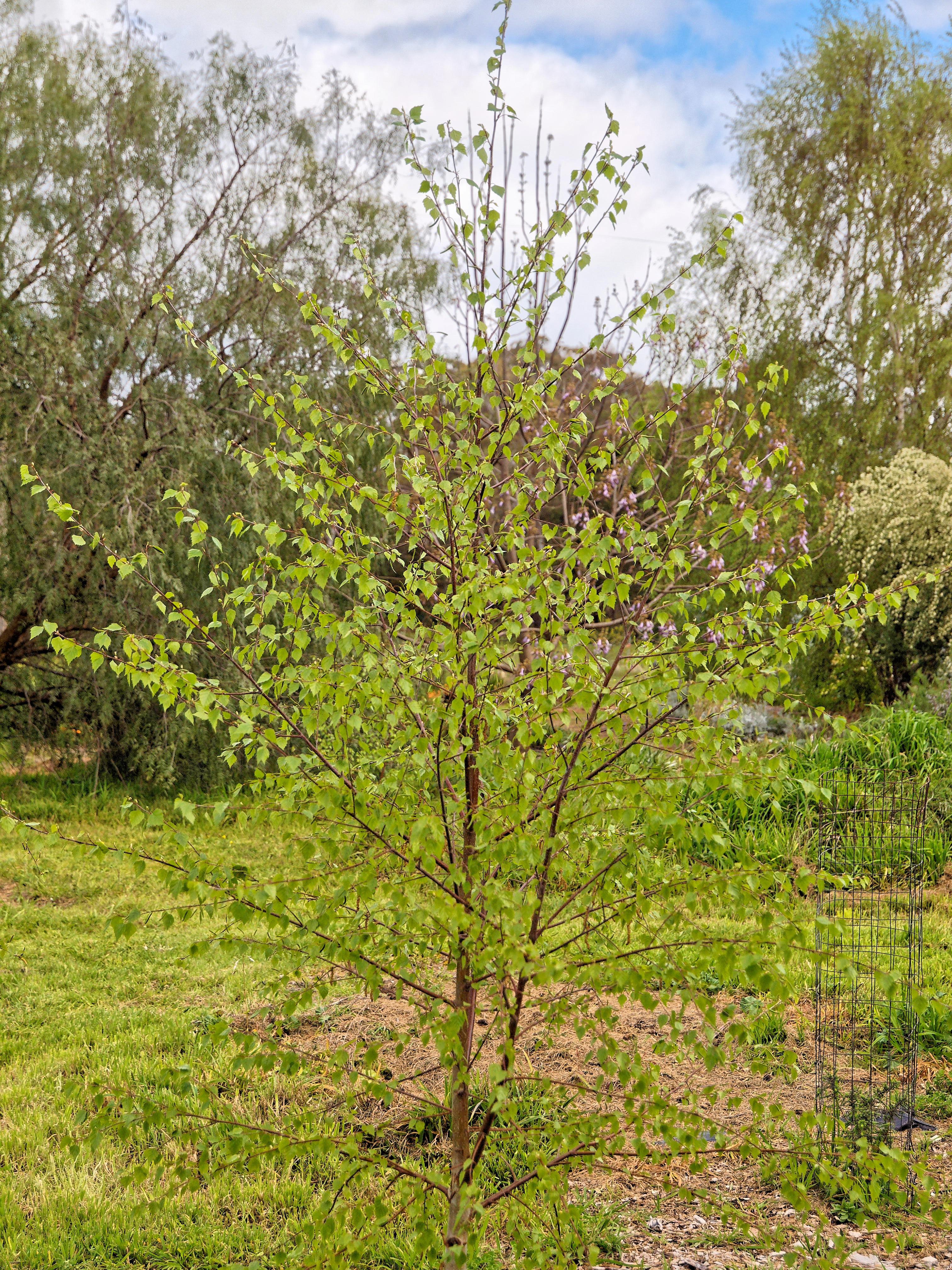 Birch-1.jpeg