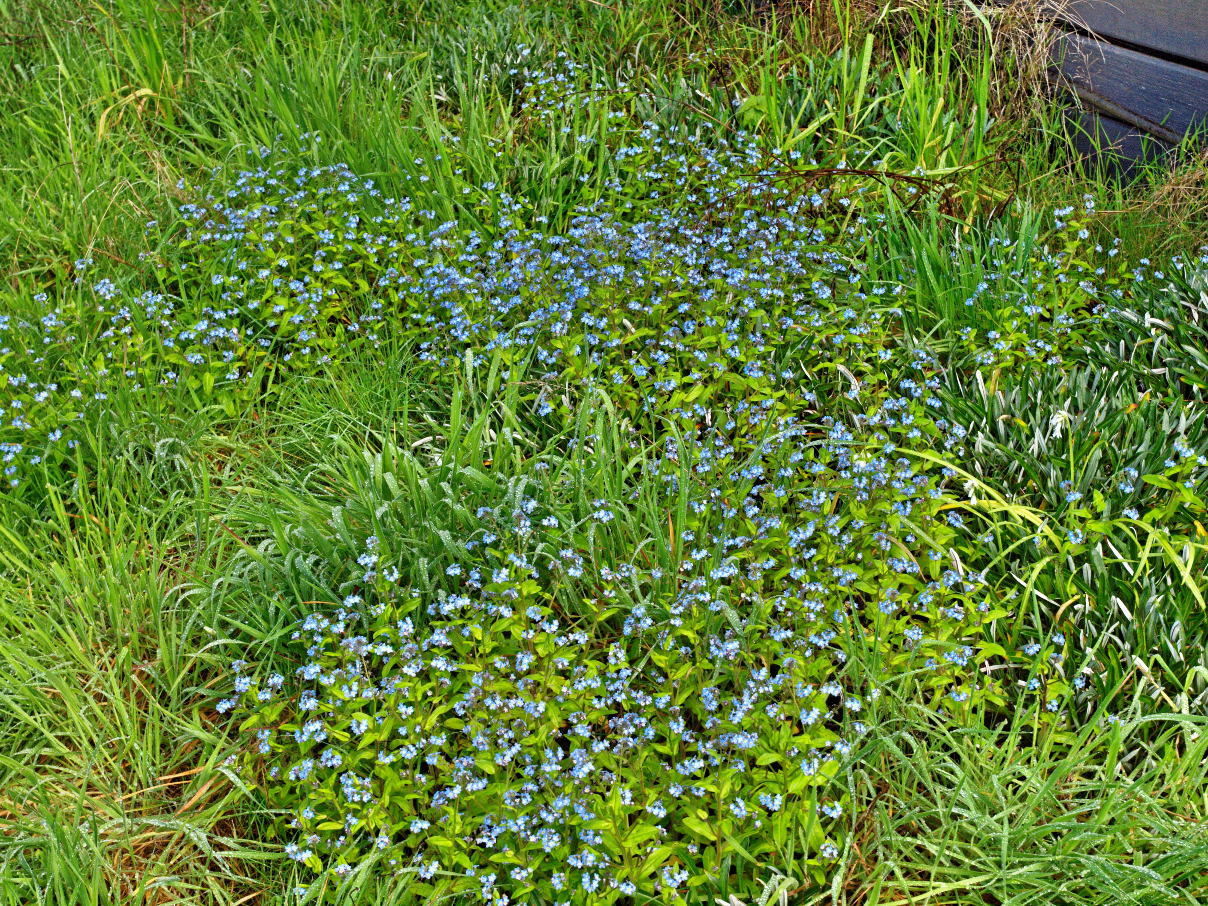 Forget-me-not.jpeg