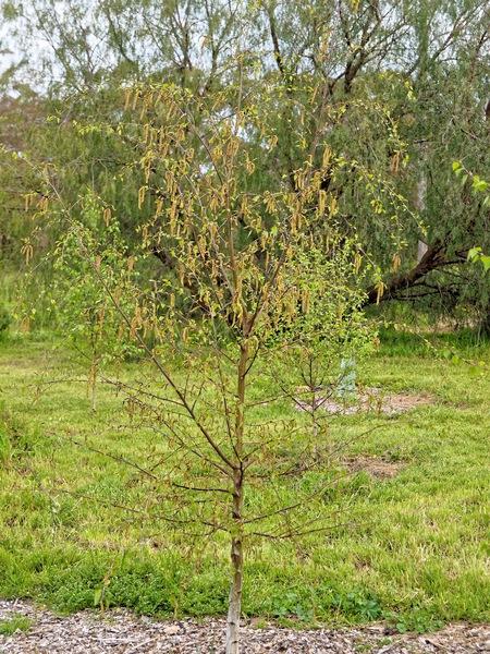 Birch-2.jpeg