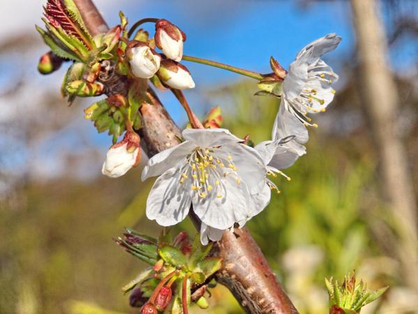 Cherry-blossom-2.jpeg