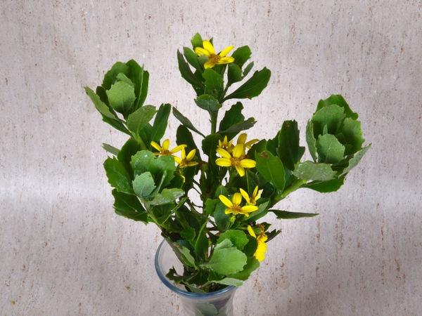 Chrysanthemoides-monilifera-1.jpeg