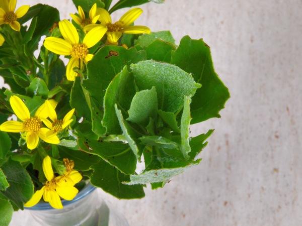 Chrysanthemoides-monilifera-2.jpeg
