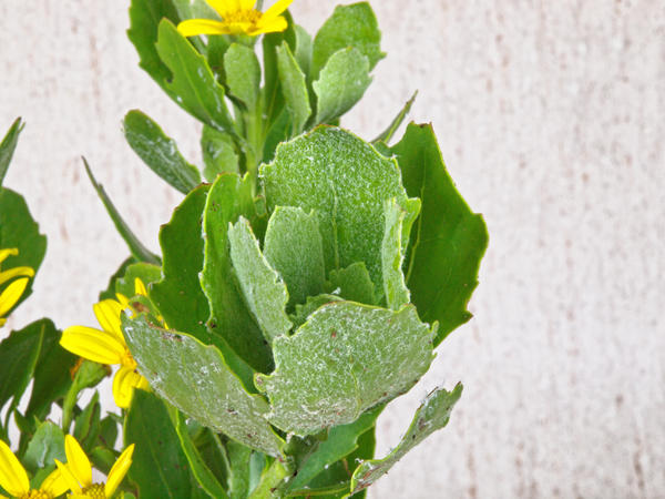 Chrysanthemoides-monilifera-3.jpeg