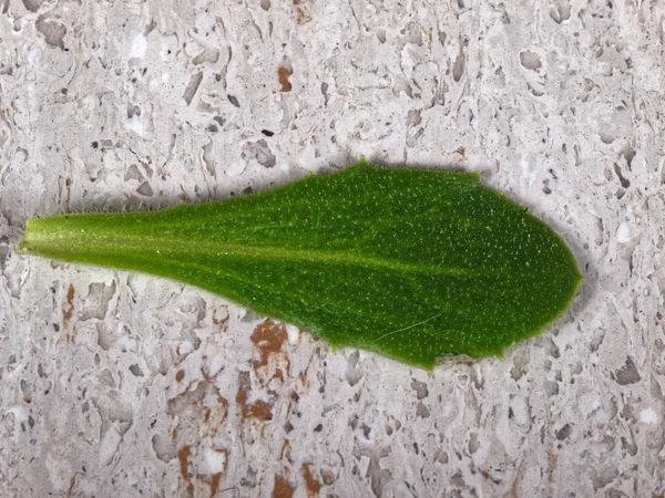 Osteospermum-ecklonis-3.jpeg