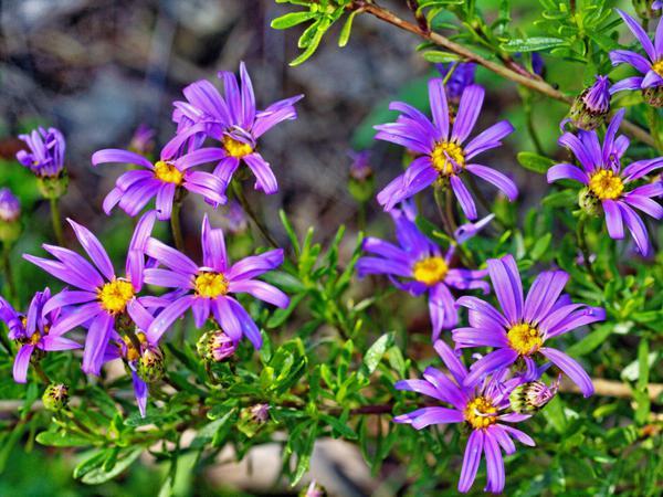 Felicia-angustifolia.jpeg