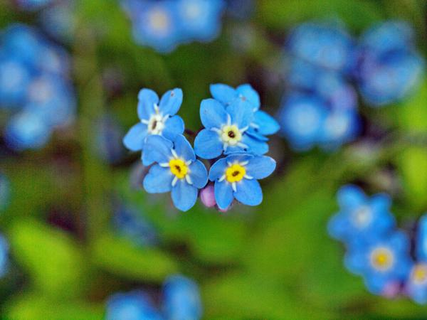Forget-me-not-2.jpeg