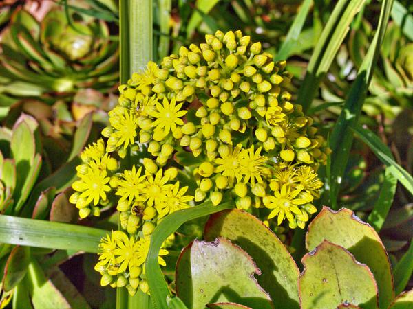 Succulent-flower-2.jpeg