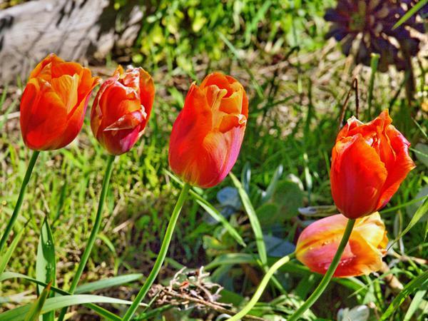 Tulip-2.jpeg