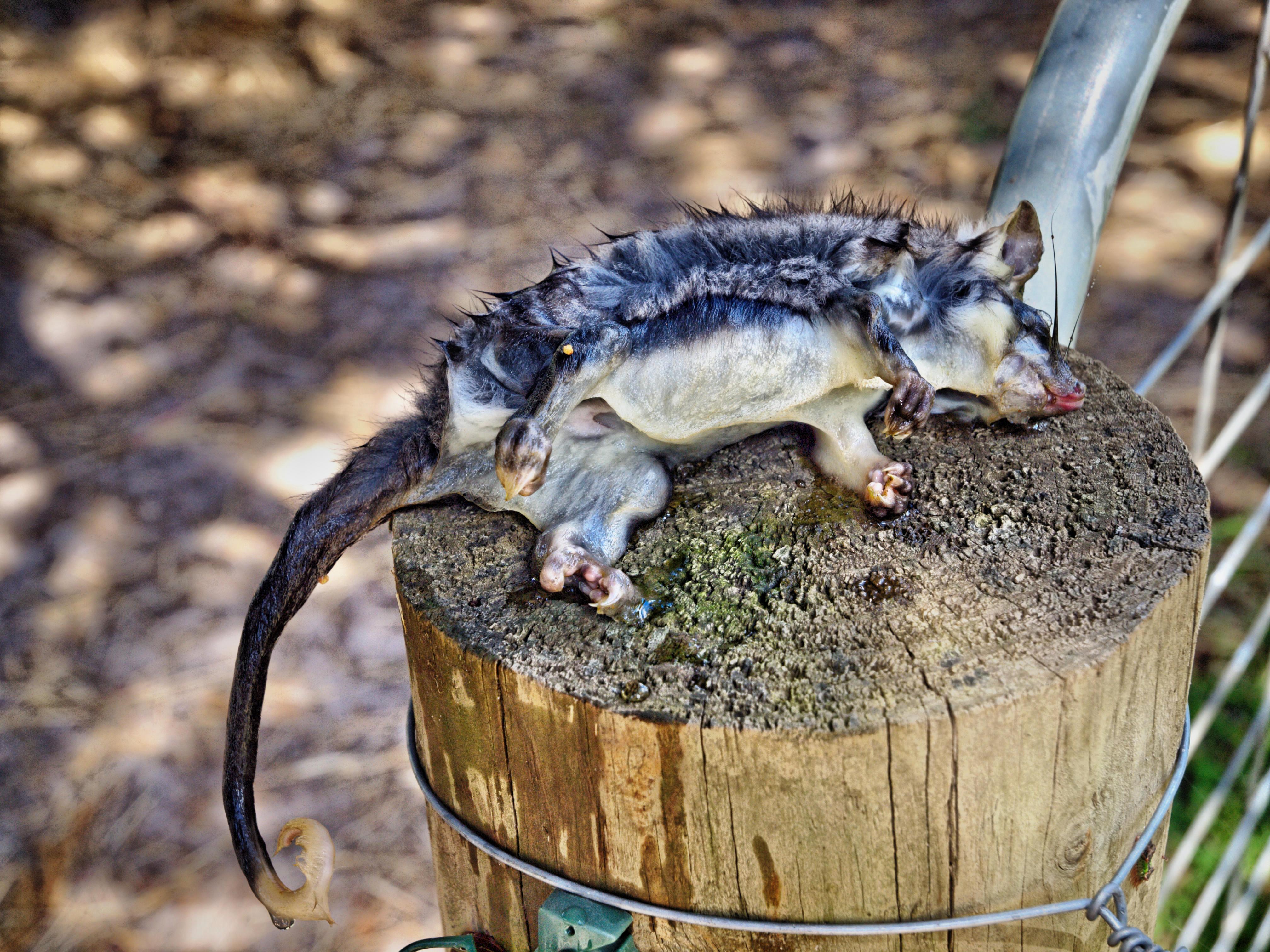 Possum-2.jpeg