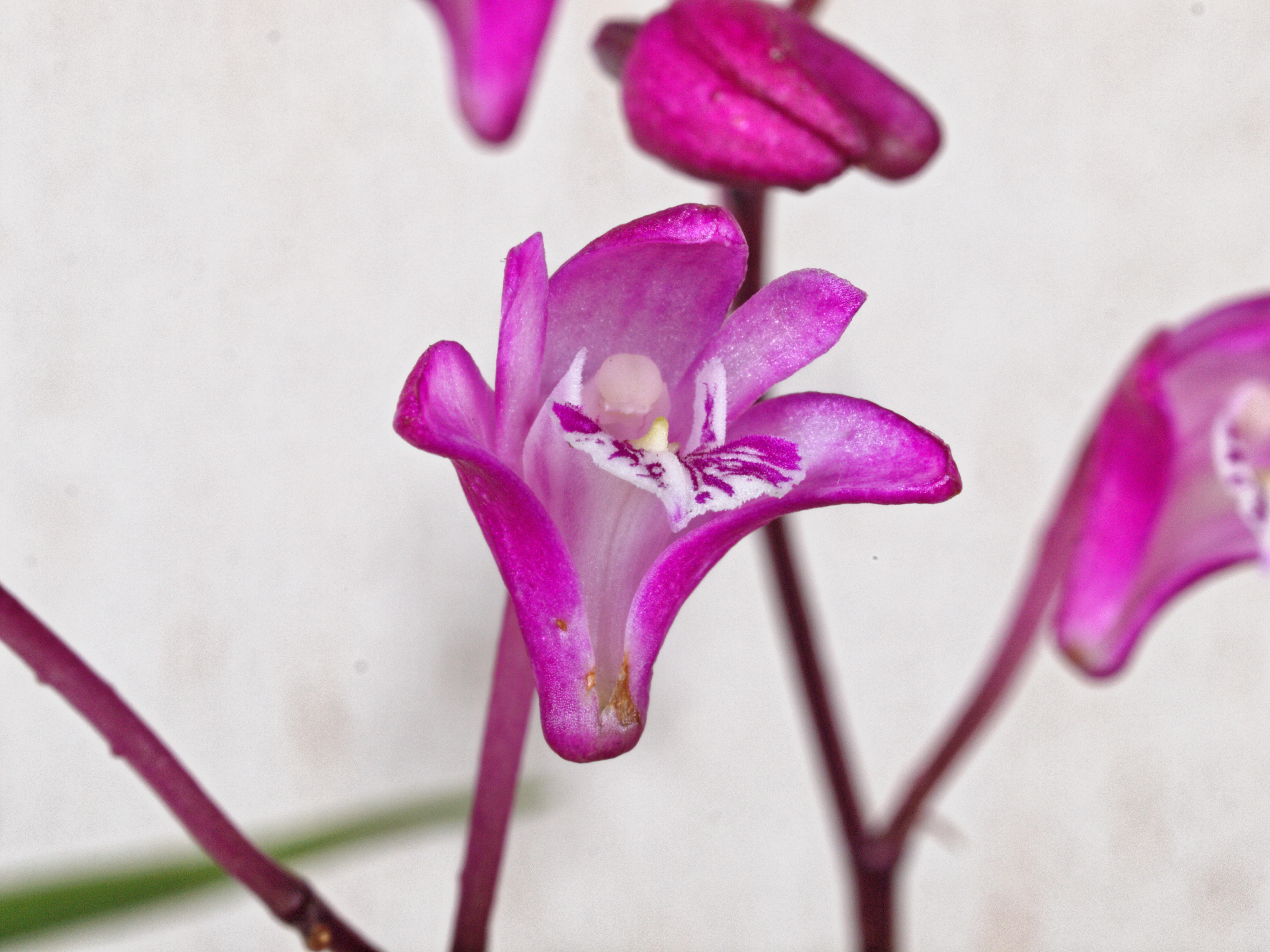 Rock-orchid-1.jpeg