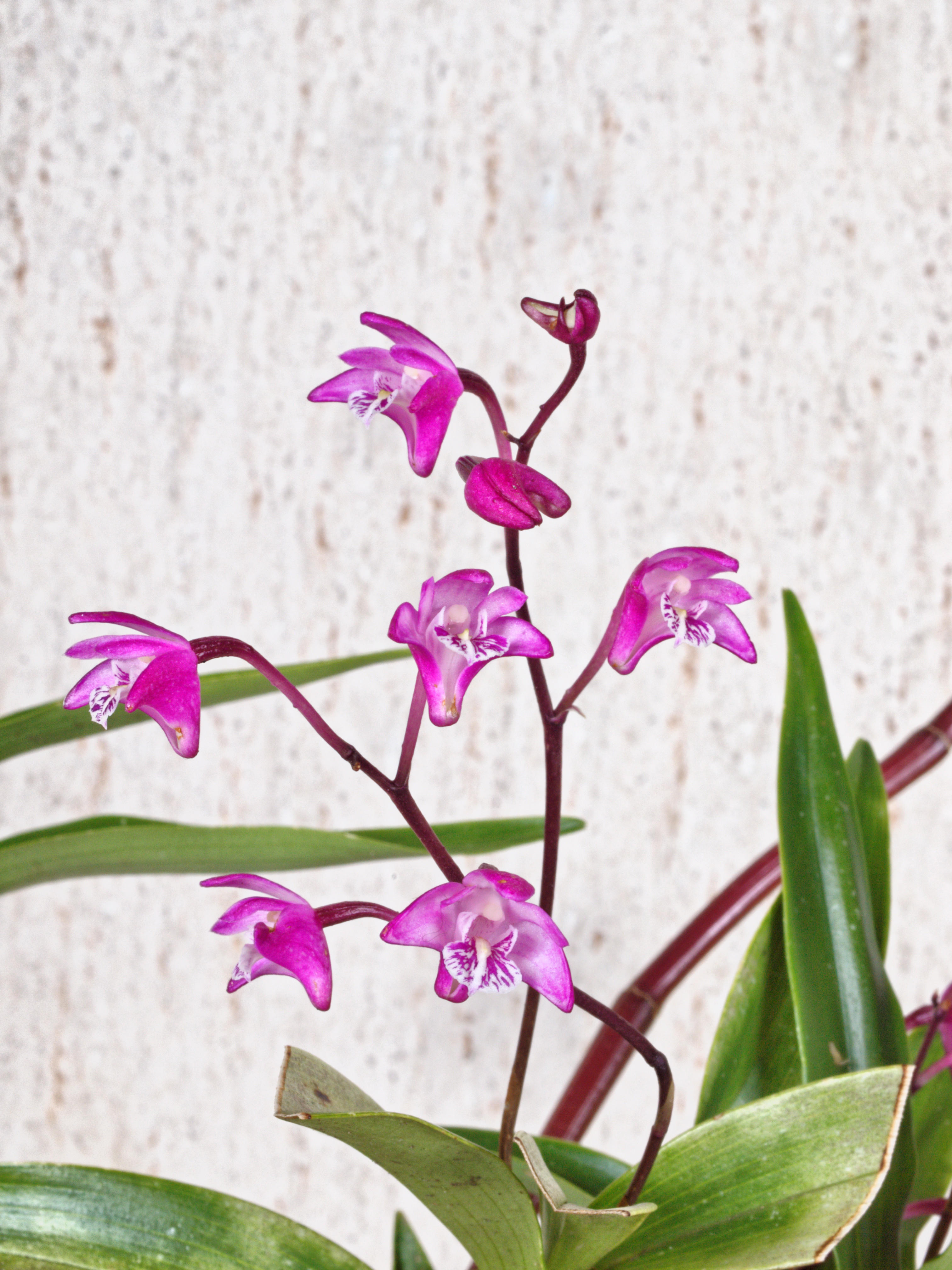 Rock-orchid-2.jpeg