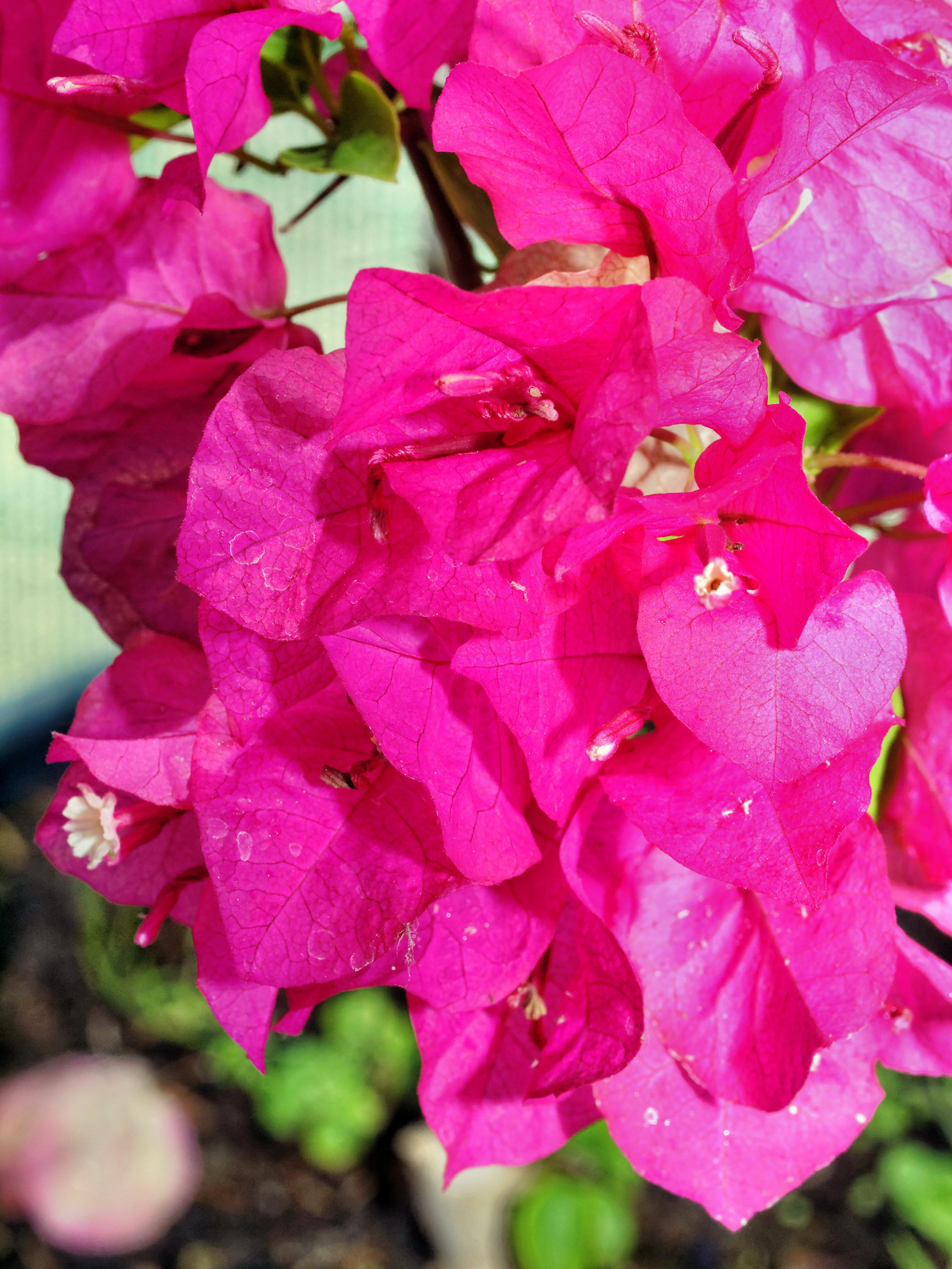 Bougainvillea-1.jpeg