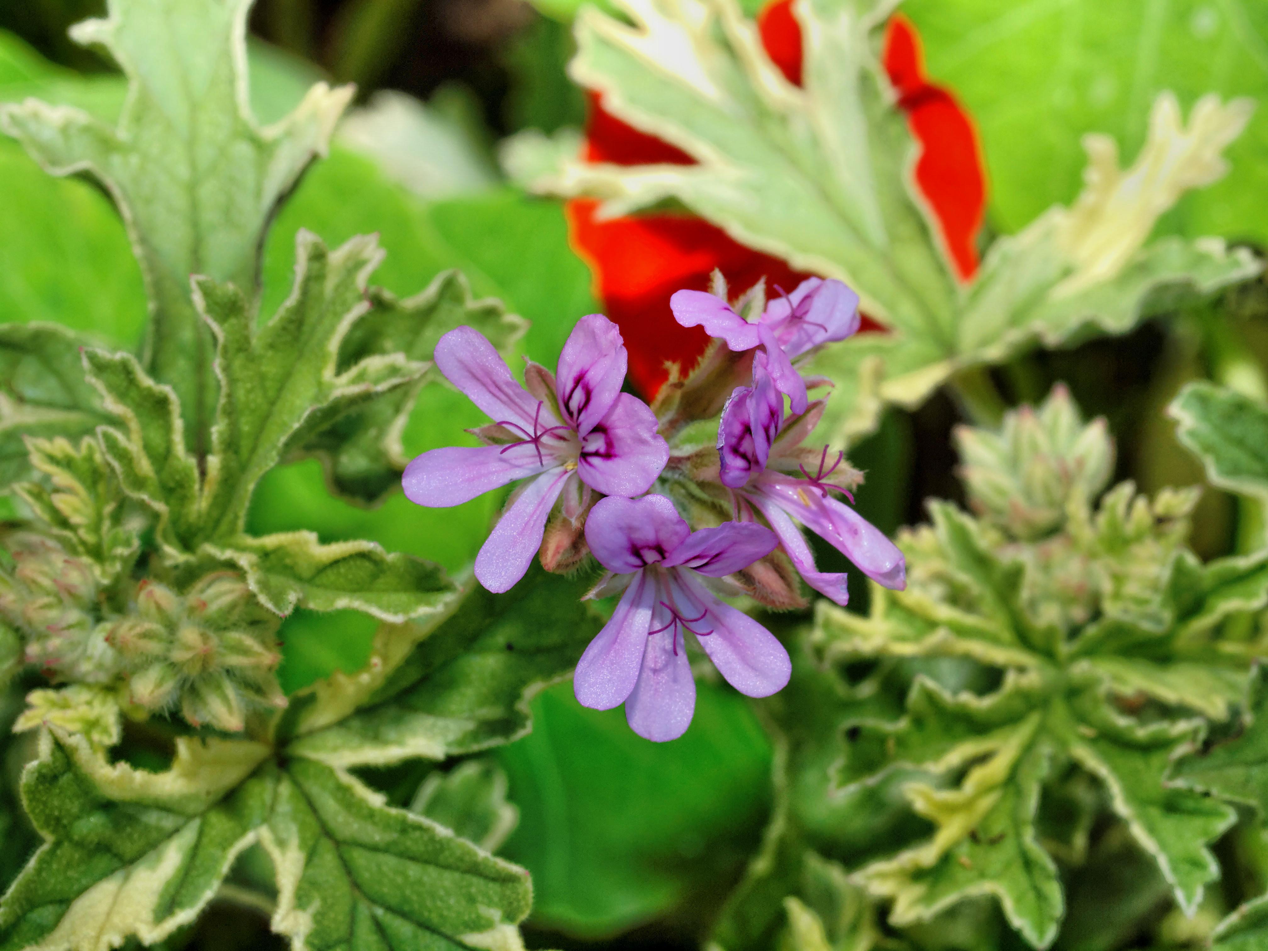 Pelargonium-9.jpeg